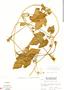 Polyclathra cucumerina Bertol., Nicaragua, A. Molina R. 23035, F