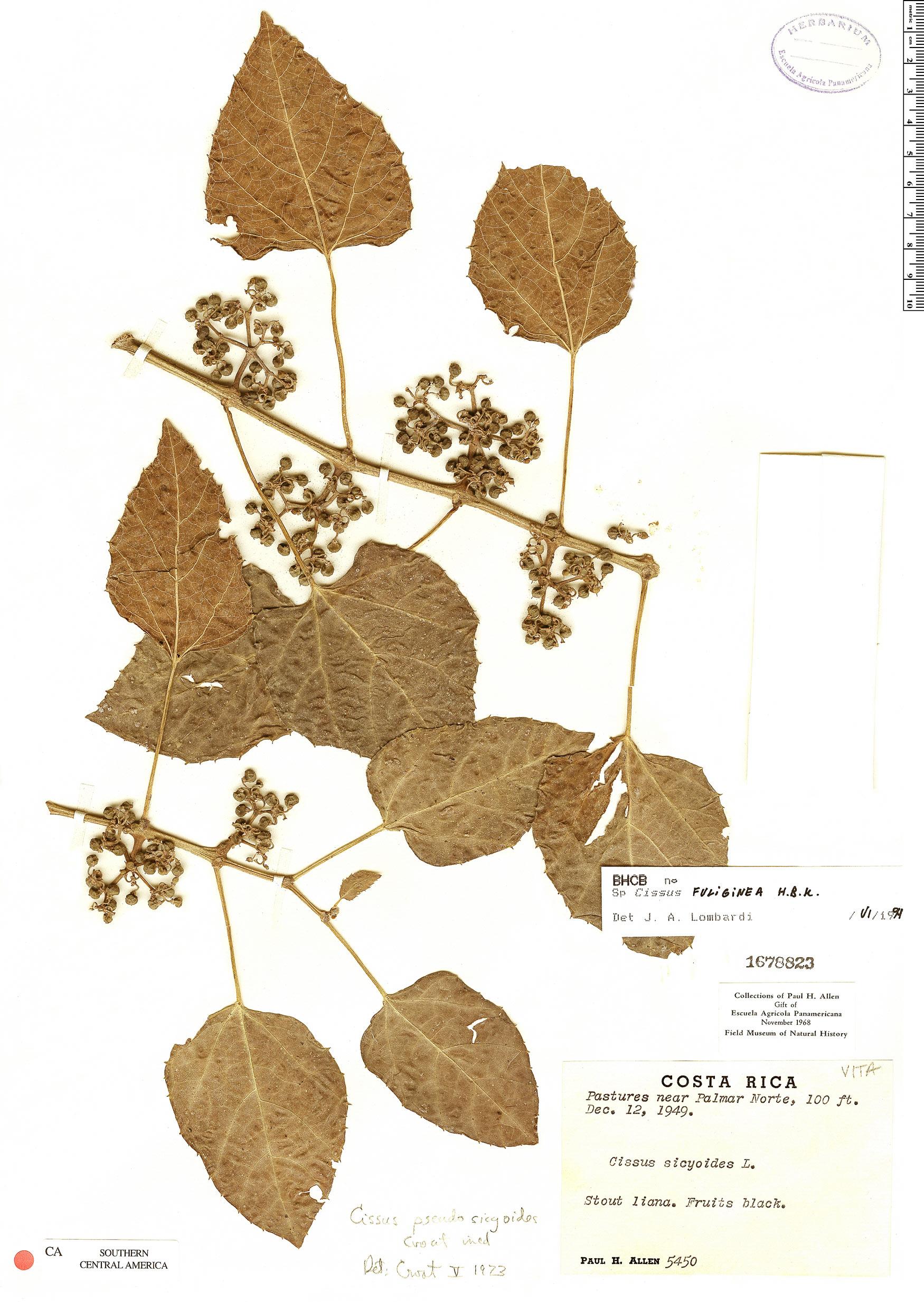 Specimen: Cissus fuliginea