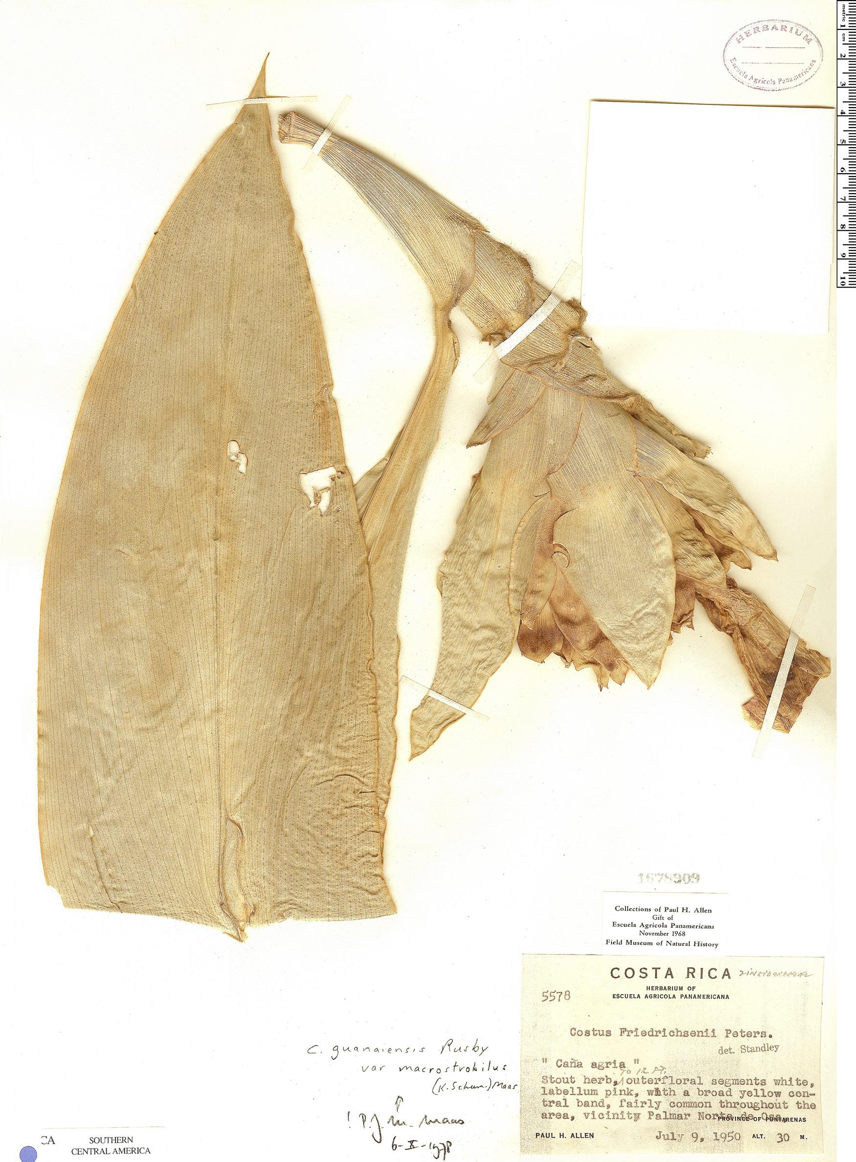 Specimen: Costus guanaiensis