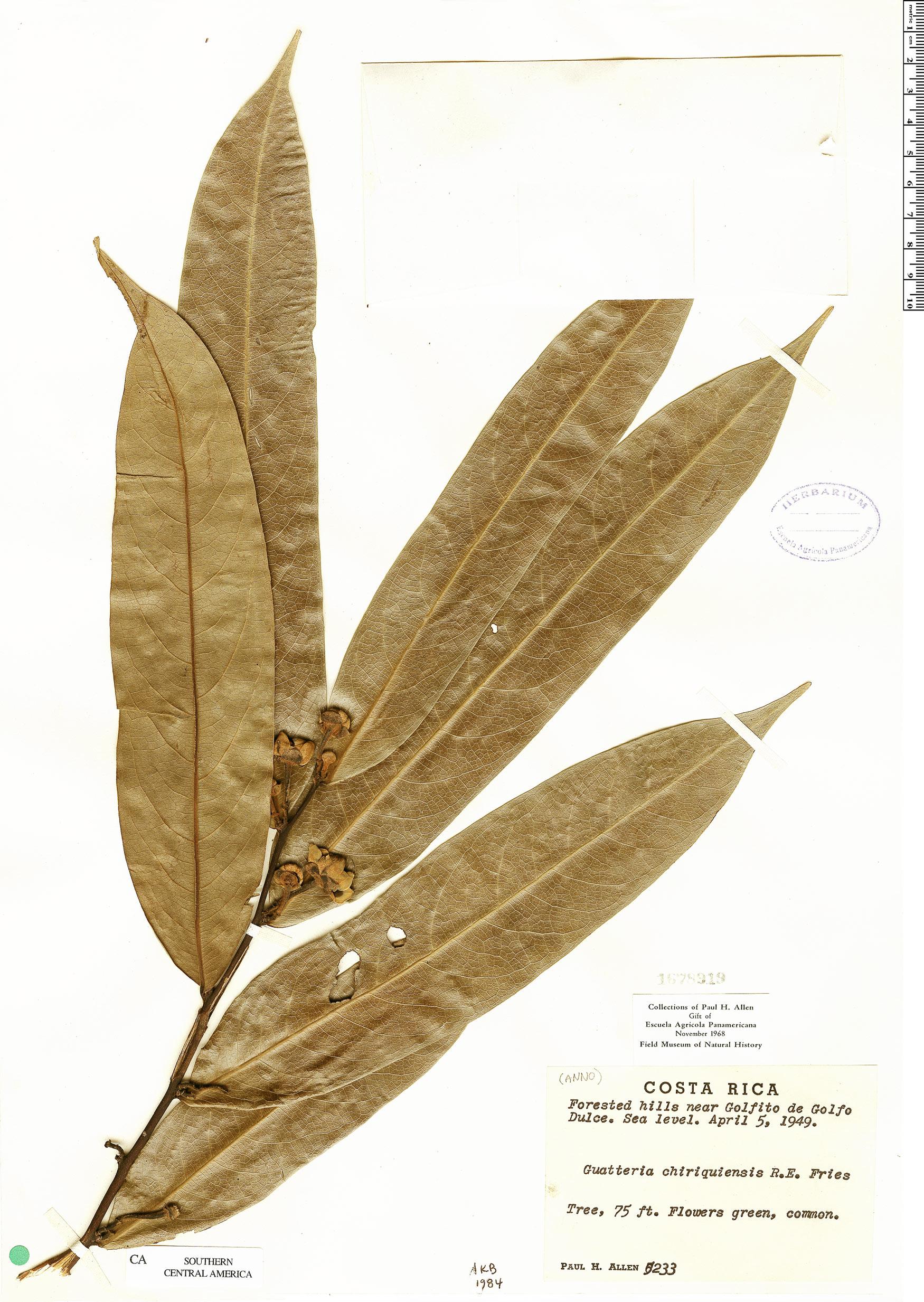 Specimen: Guatteria chiriquiensis