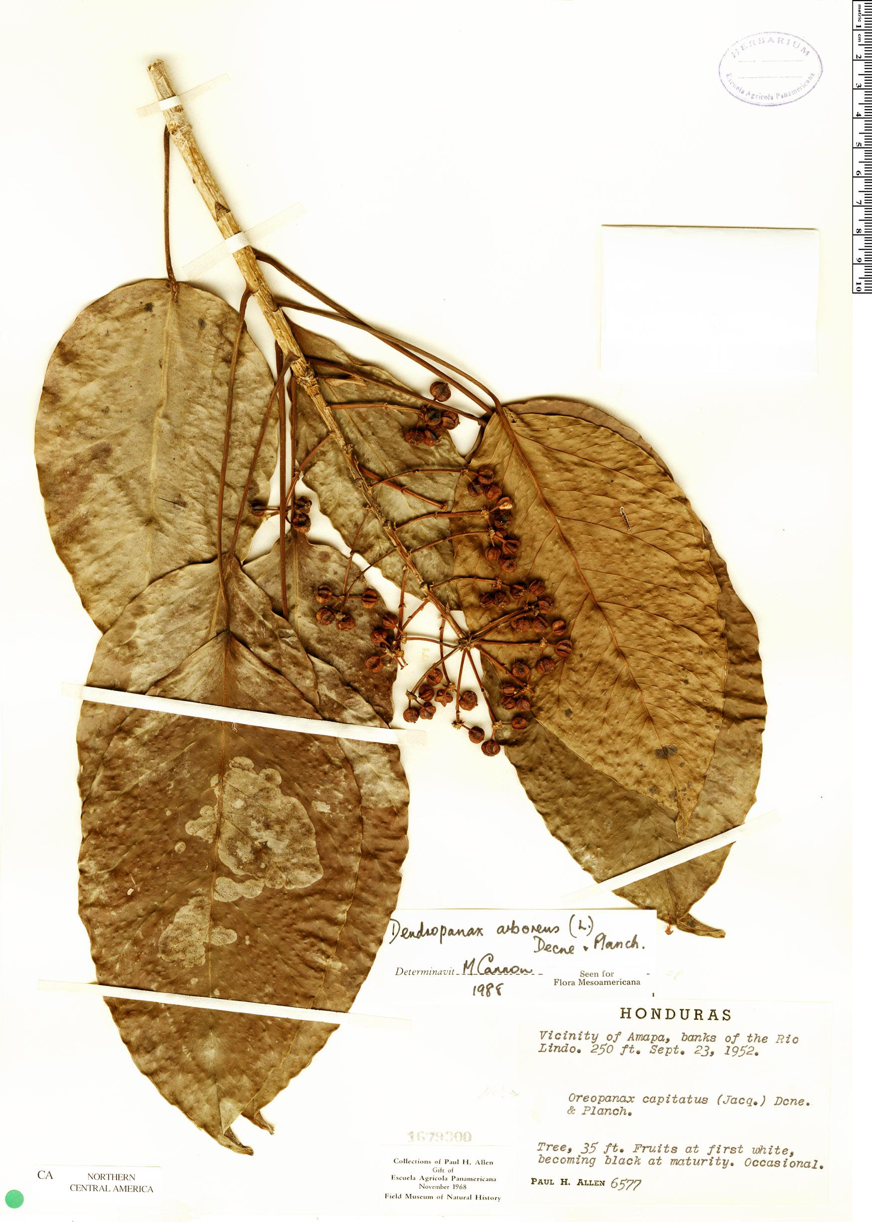 Specimen: Dendropanax arboreus