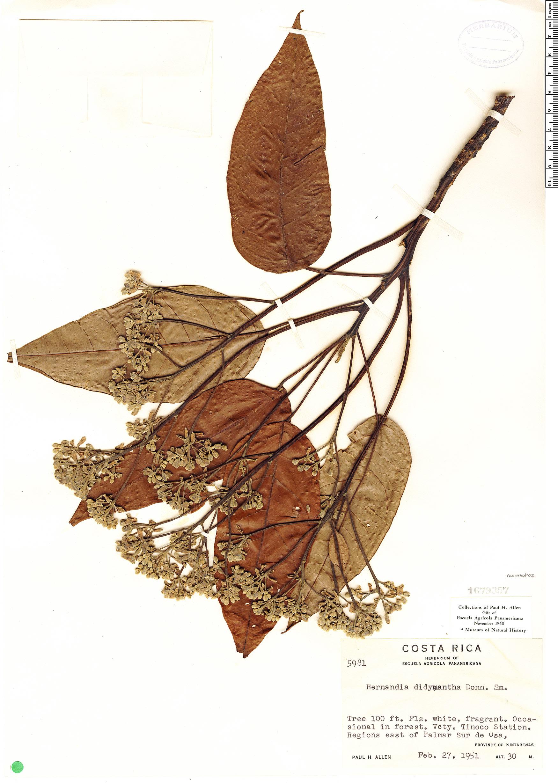 Espécimen: Hernandia didymantha