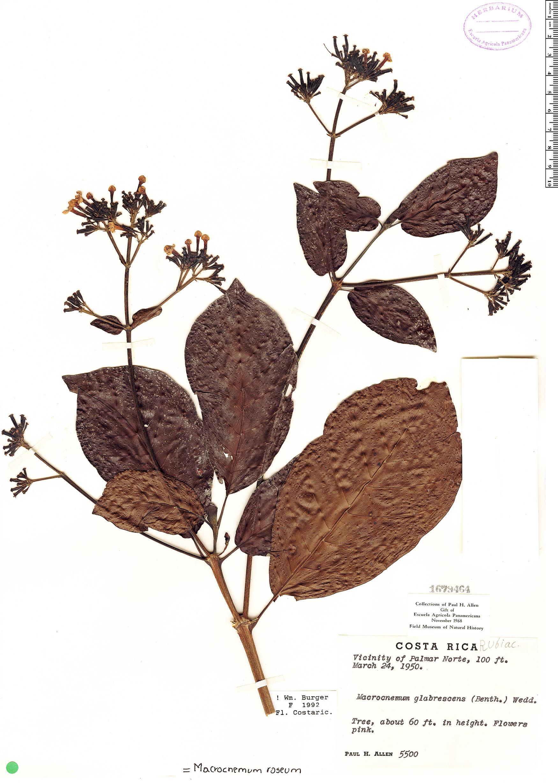Specimen: Macrocnemum roseum