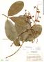 Couratari guianensis Aubl., Costa Rica, P. H. Allen 5686, F