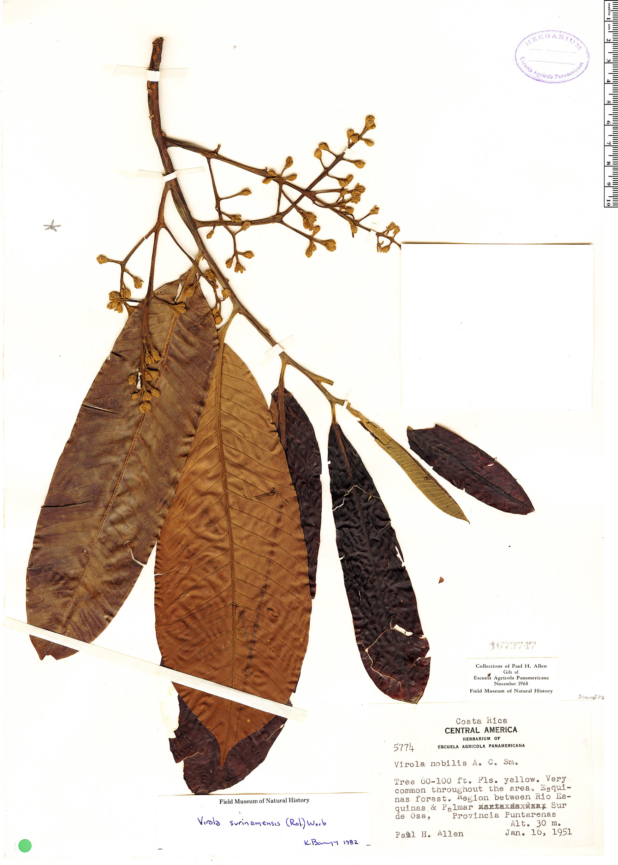 Specimen: Virola nobilis