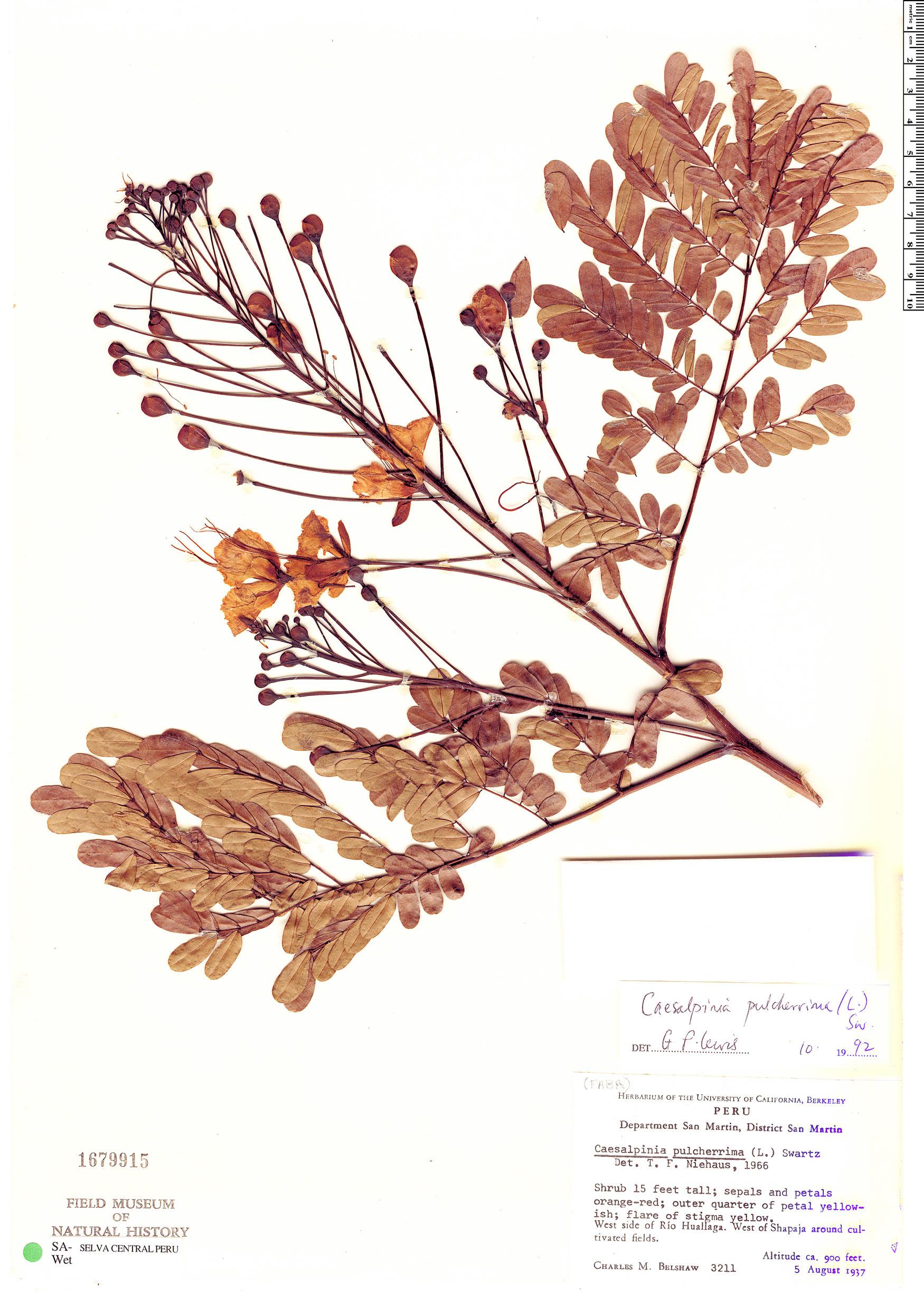 Specimen: Caesalpinia pulcherrima