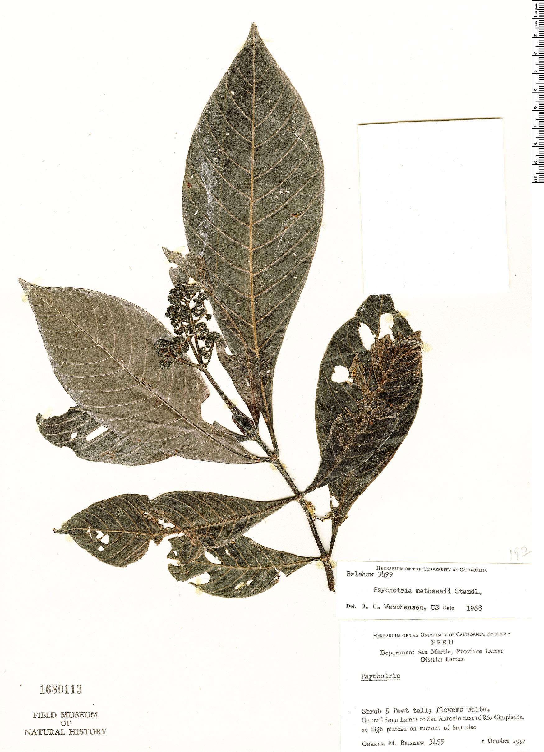 Specimen: Psychotria ernestii
