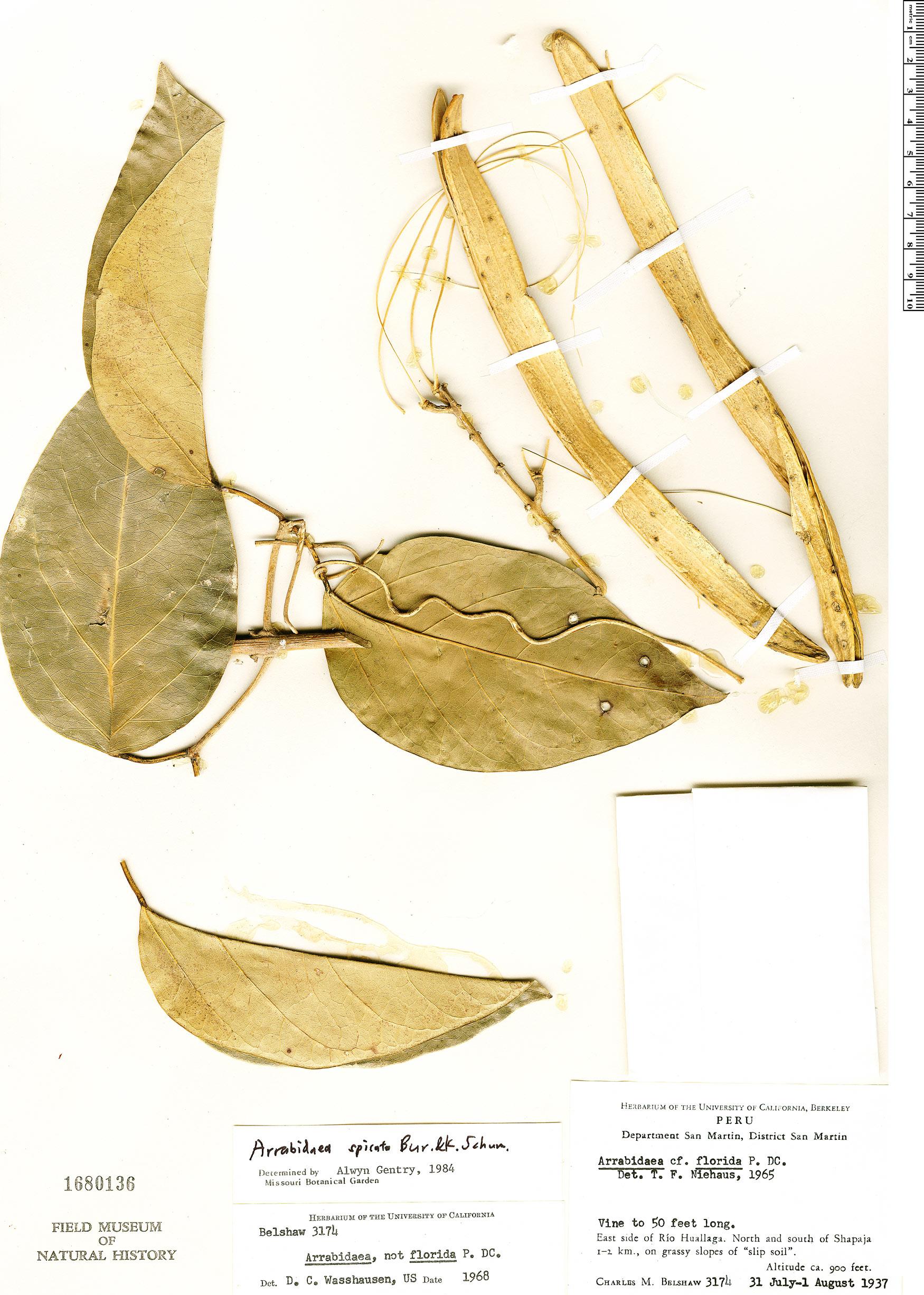 Espécimen: Fridericia spicata
