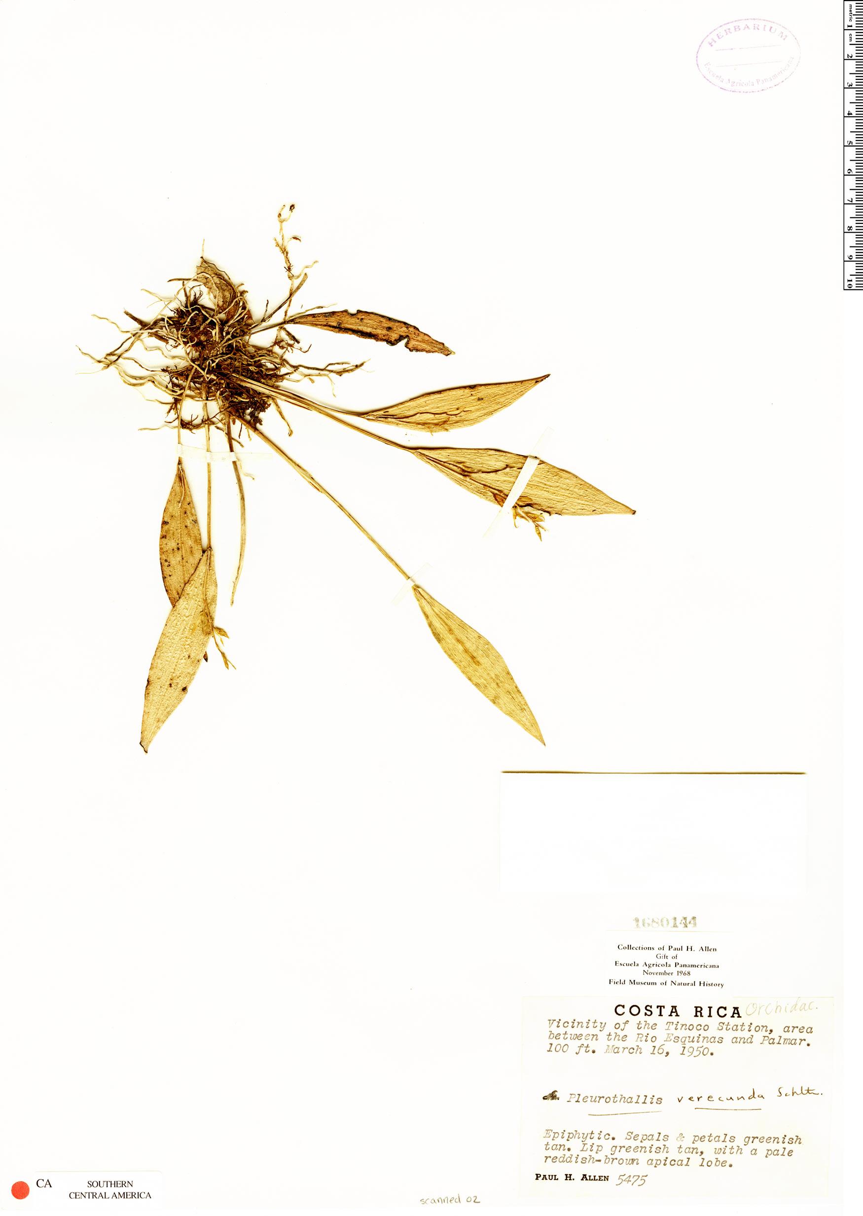 Specimen: Pleurothallis verecunda