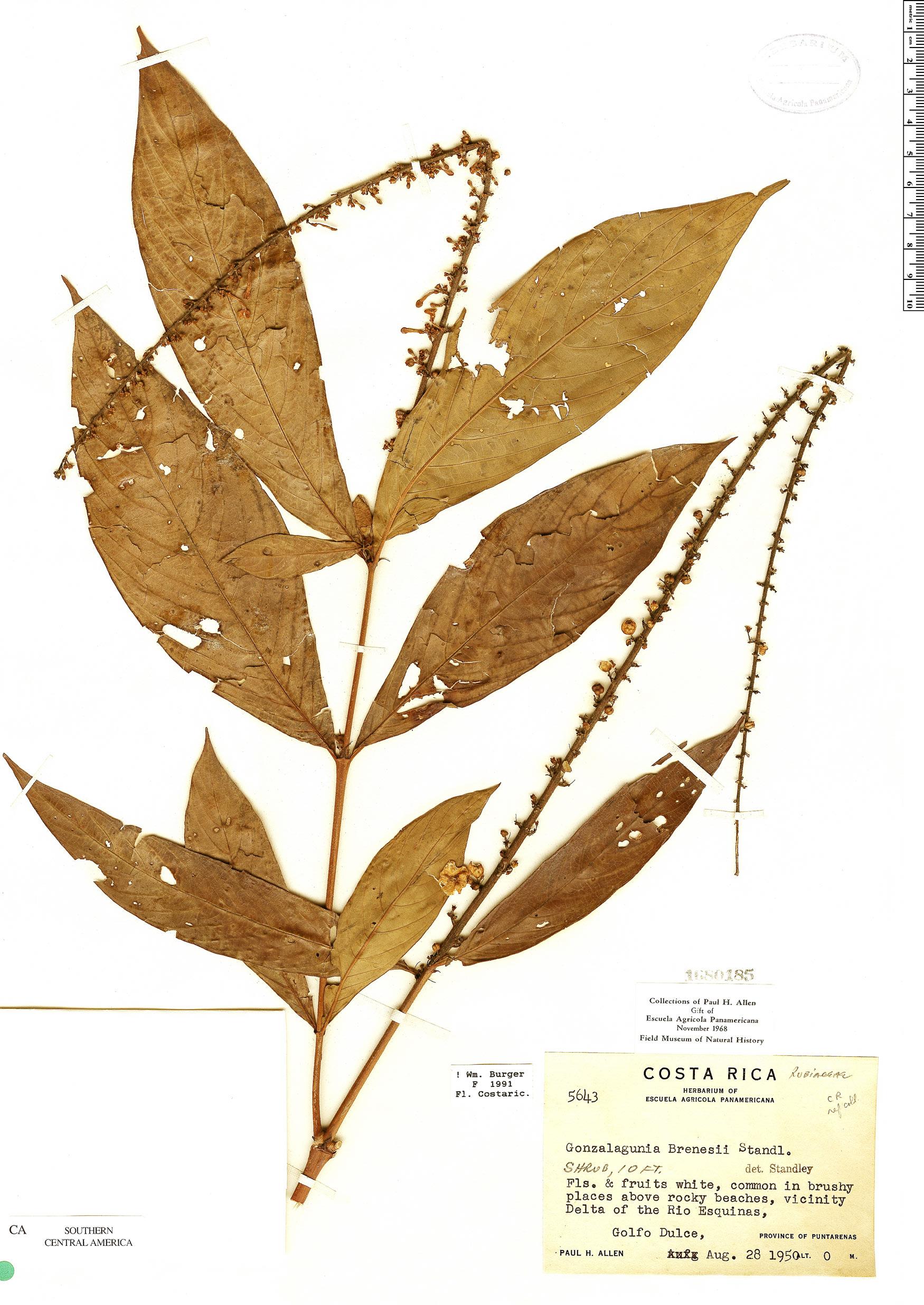 Specimen: Gonzalagunia brenesii