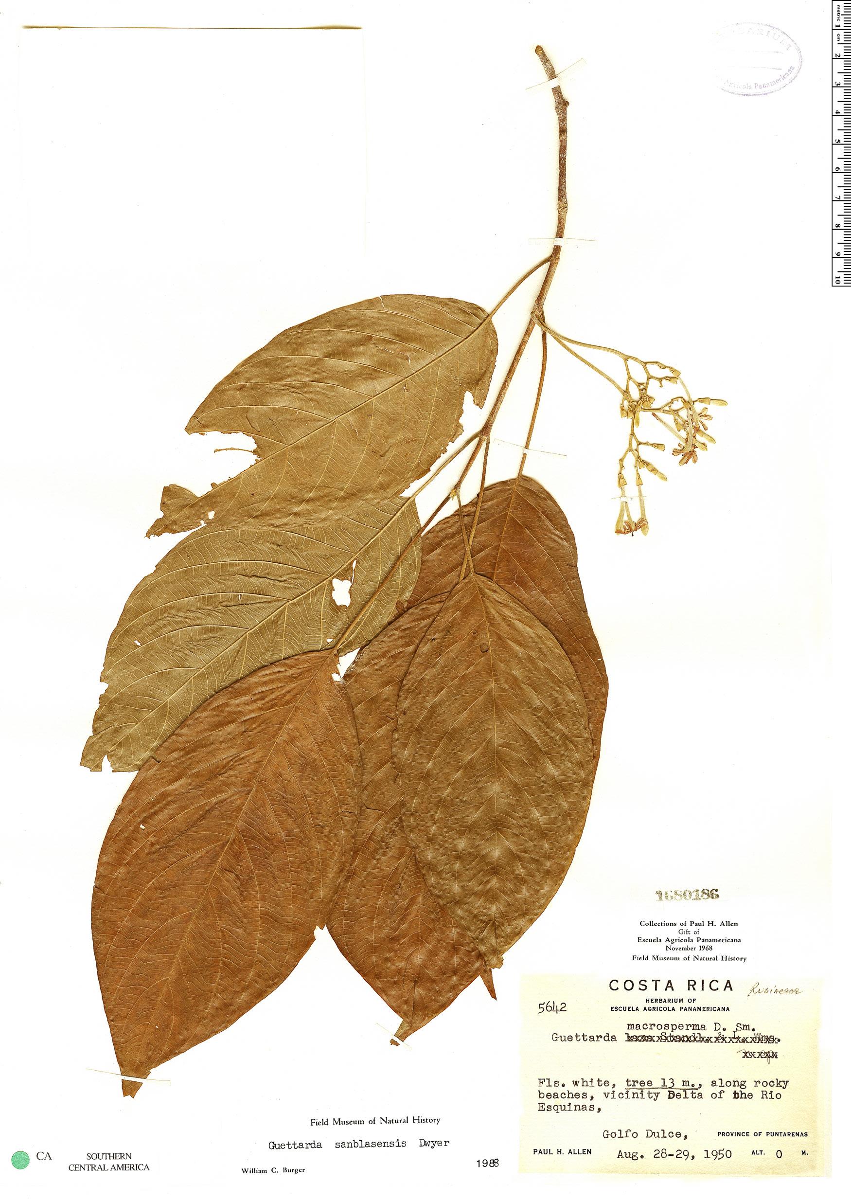 Specimen: Guettarda sanblasensis