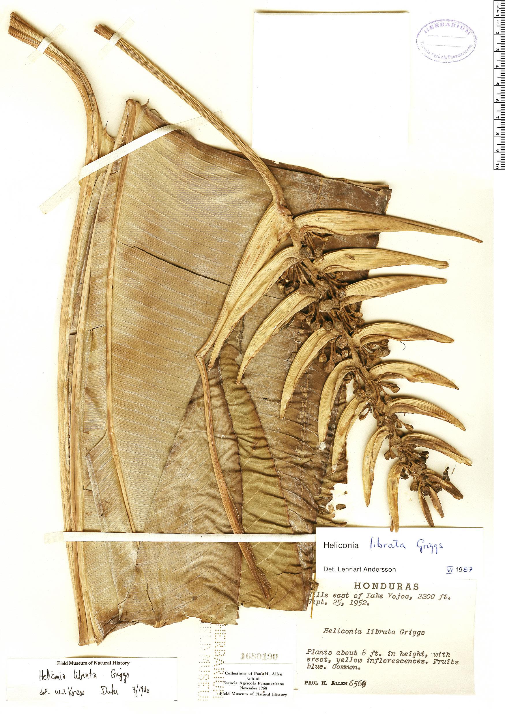 Specimen: Heliconia librata
