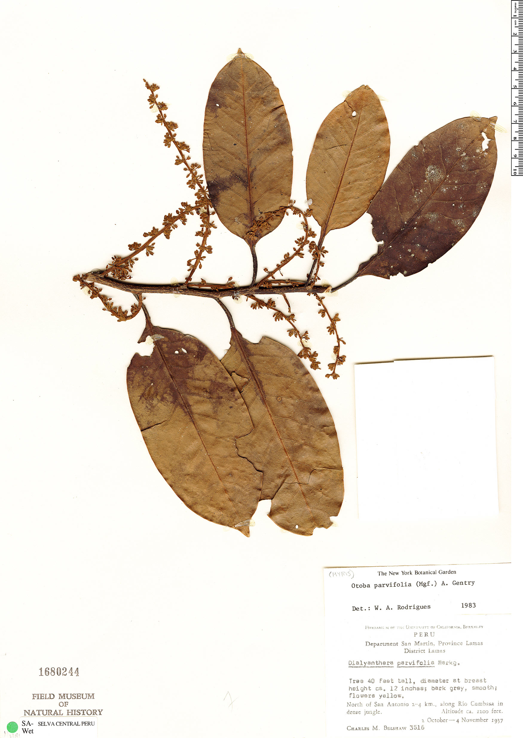 Specimen: Otoba parvifolia