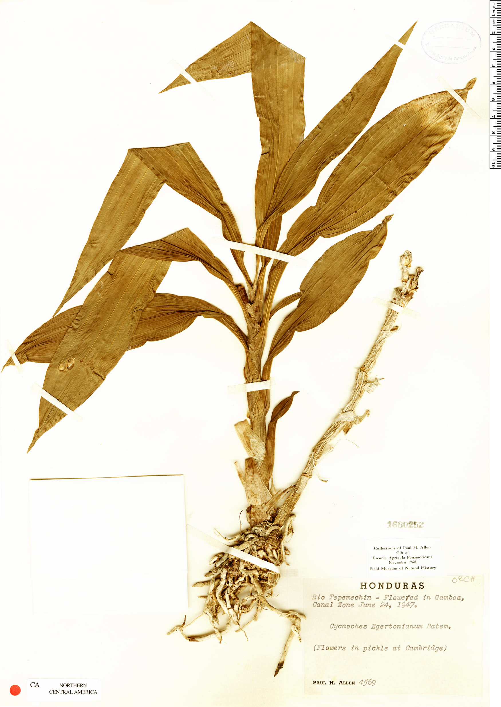 Specimen: Cycnoches egertonianum