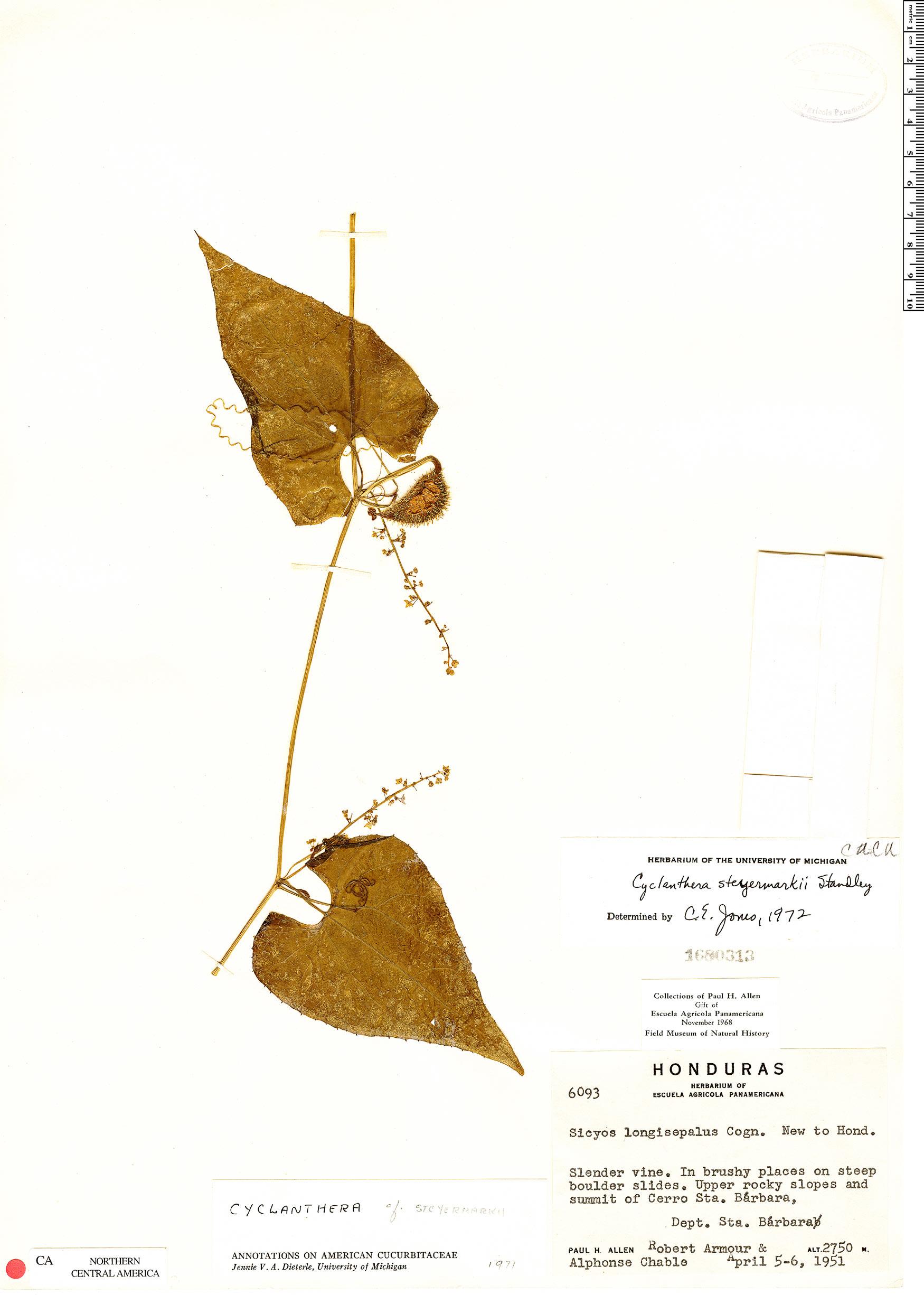 Specimen: Cyclanthera steyermarkii