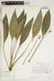 Anthurium antioquiense Engl., U.S.A., T. Plowman 13250, F