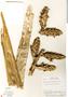 Guzmania polycephala image