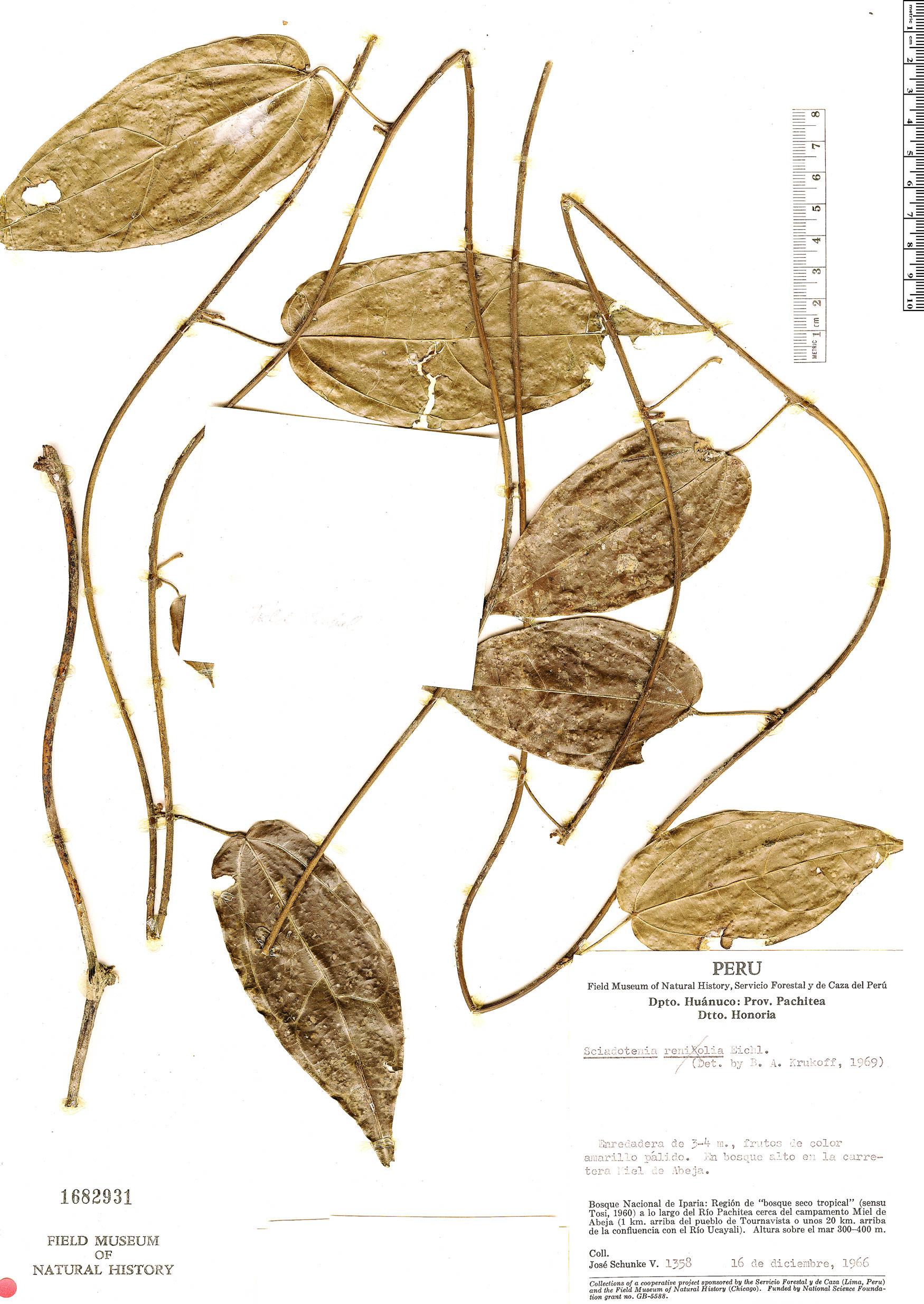 Espécimen: Sciadotenia ramiflora