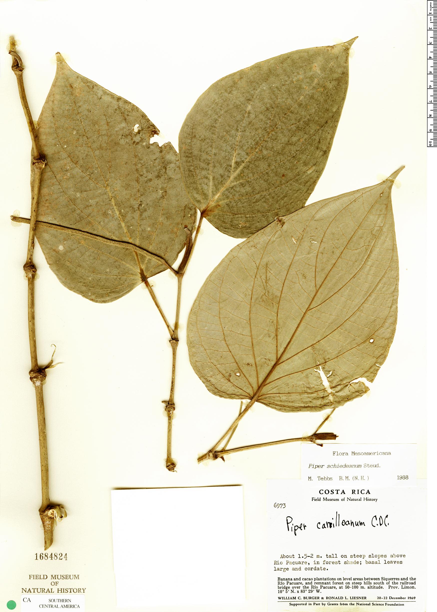 Specimen: Piper paulowniifolium