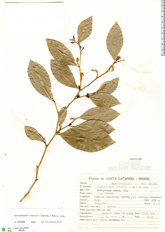 Specimen: Actinostemon concolor