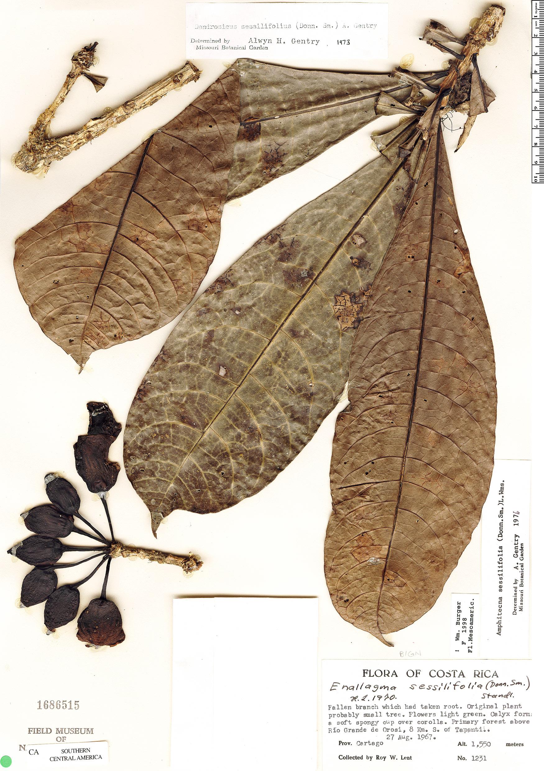 Specimen: Amphitecna sessilifolia