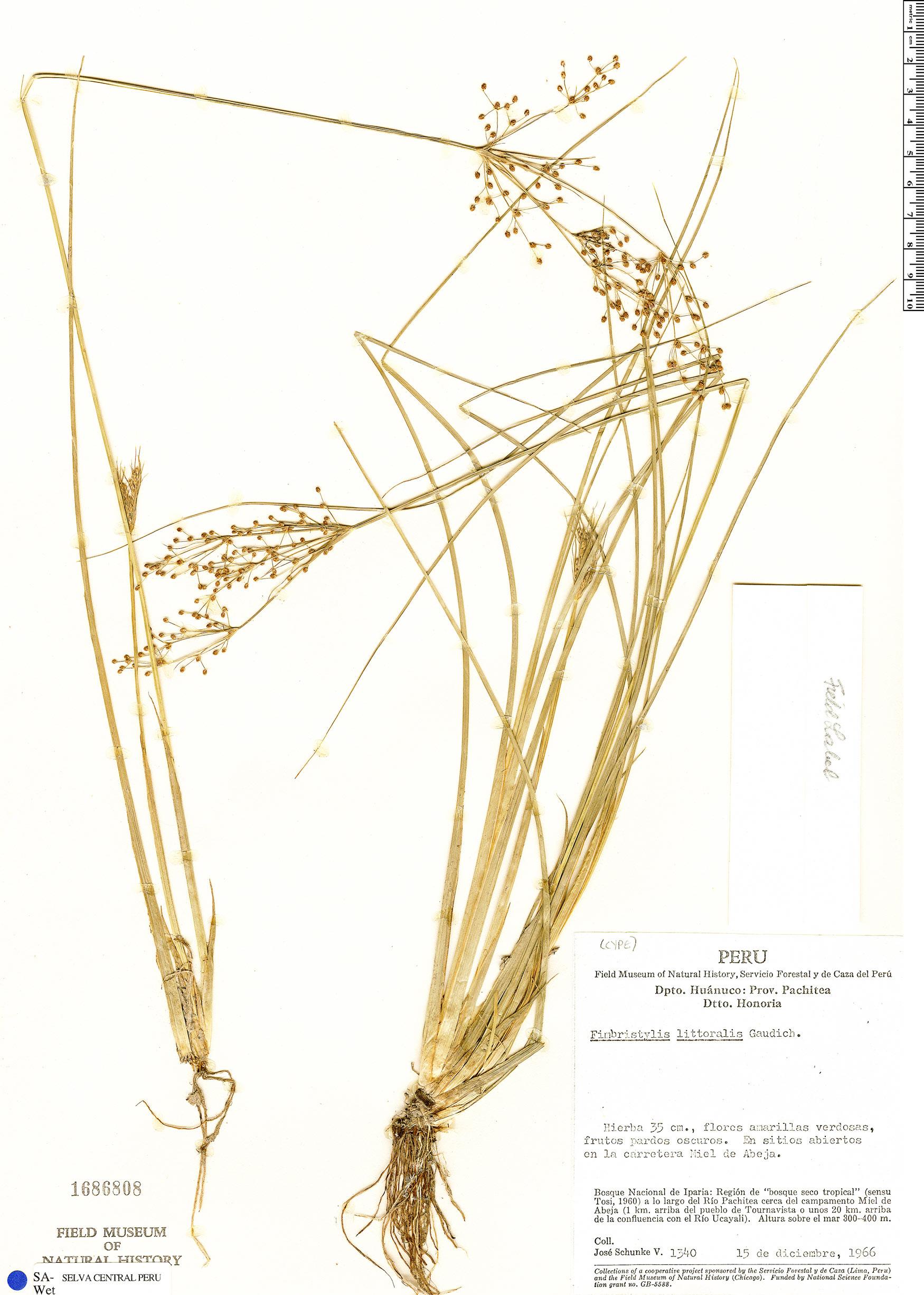 Specimen: Fimbristylis littoralis