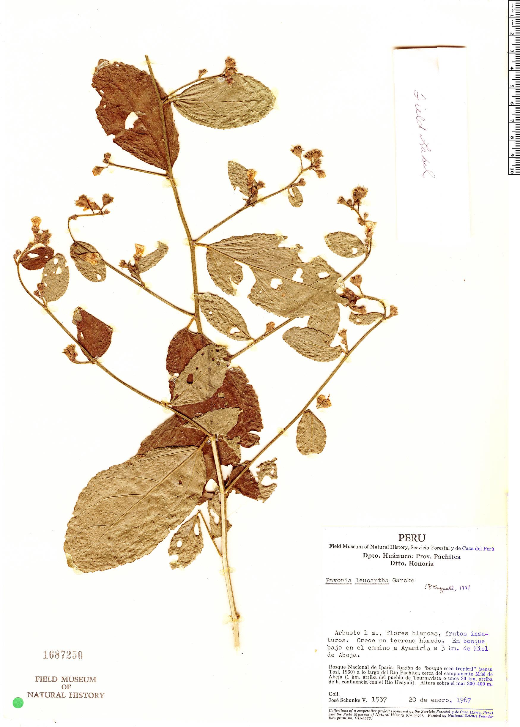 Specimen: Pavonia leucantha