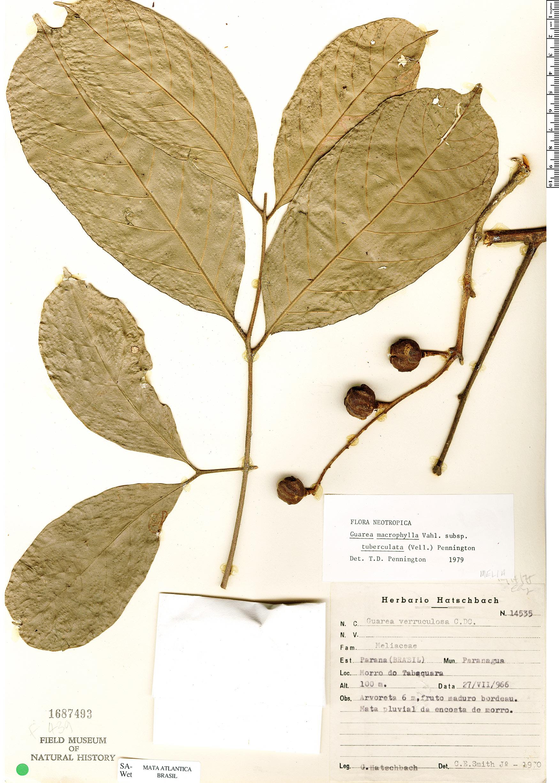 Specimen: Guarea macrophylla