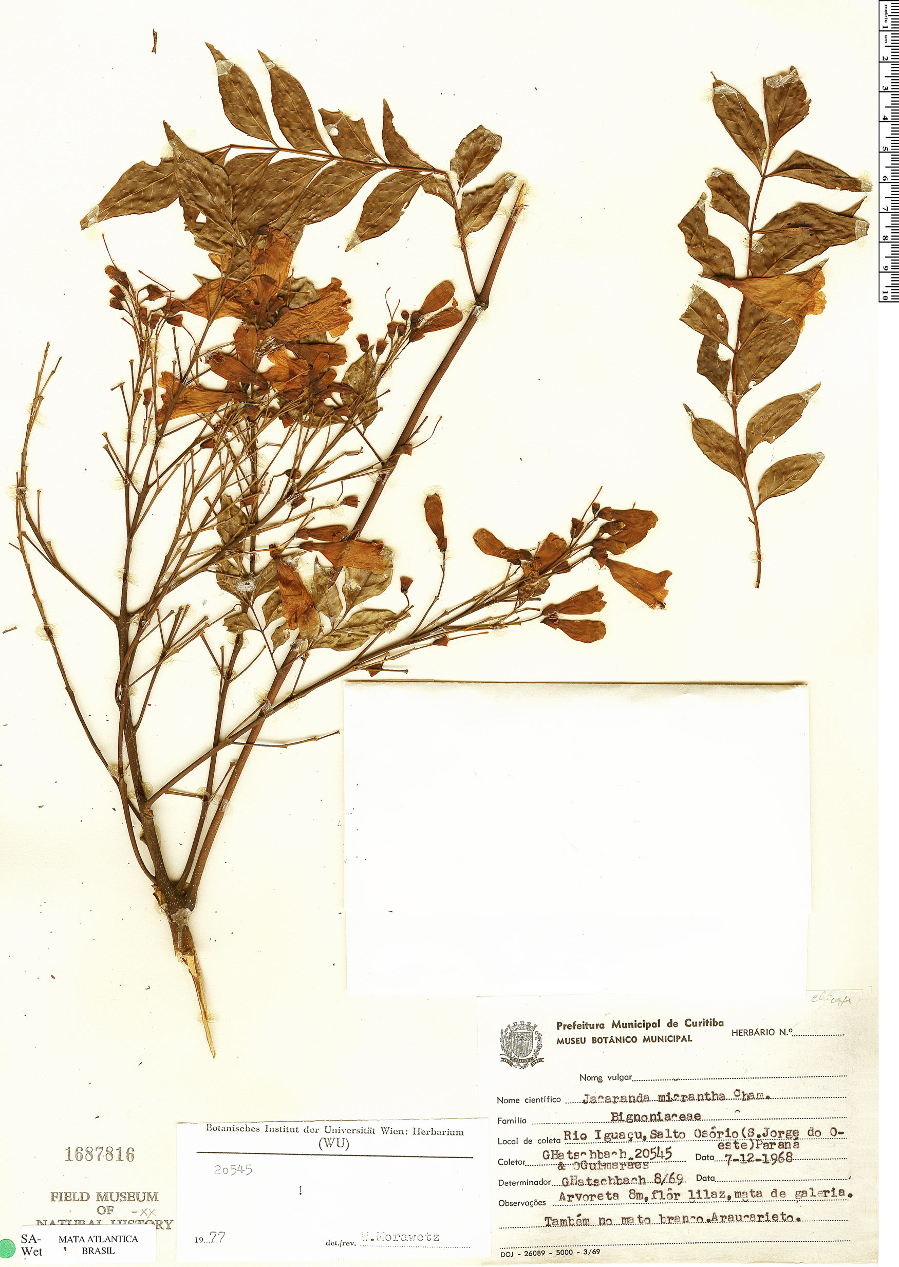 Specimen: Jacaranda micrantha
