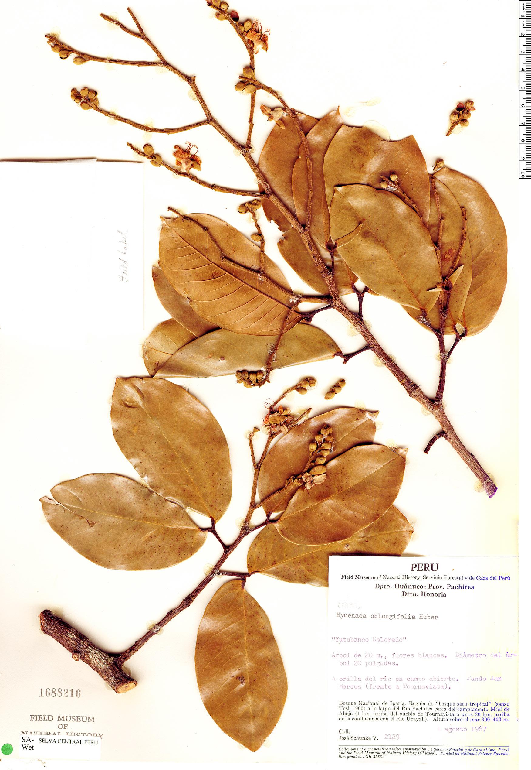 Espécimen: Hymenaea oblongifolia
