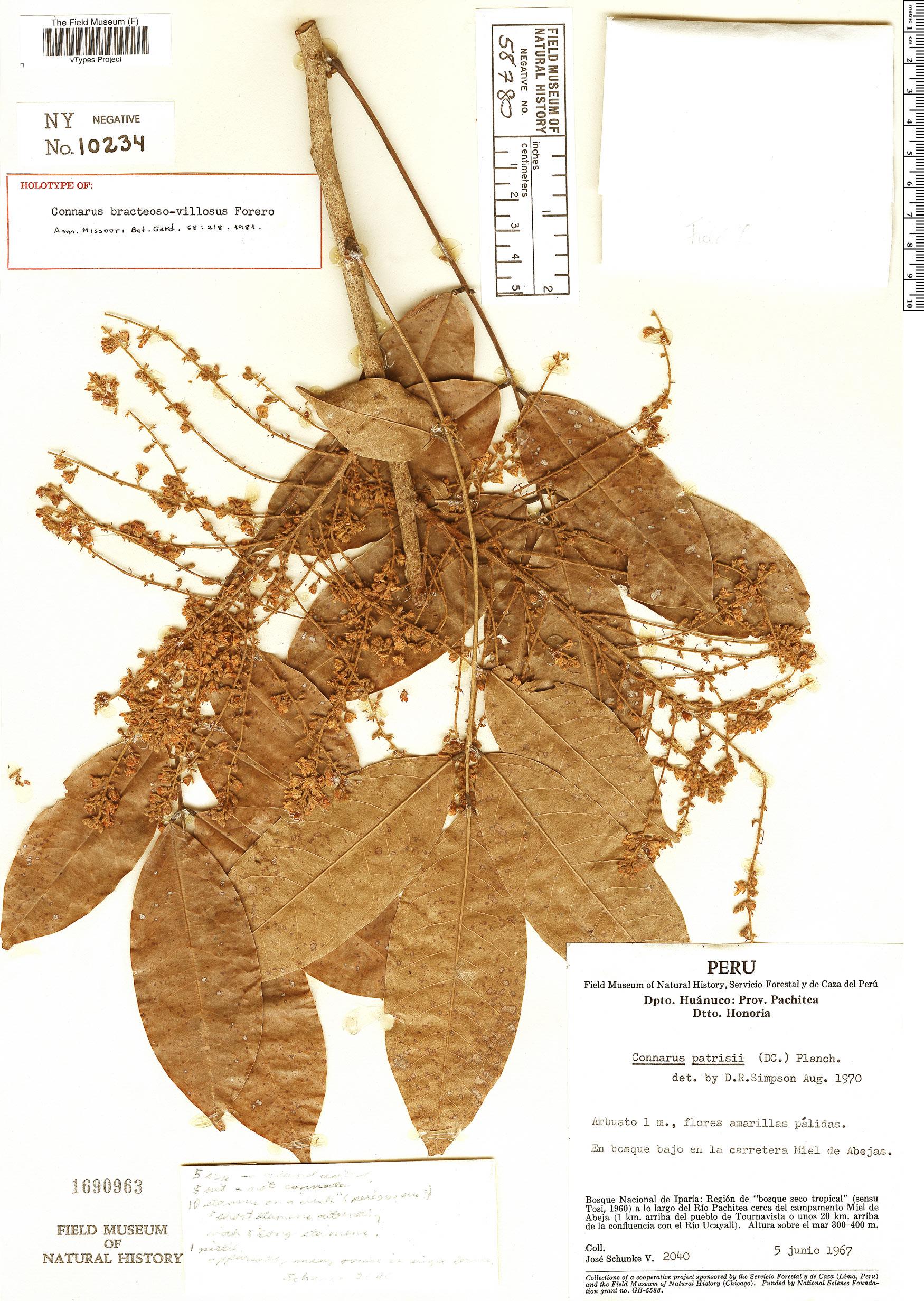 Specimen: Connarus bracteosovillosus
