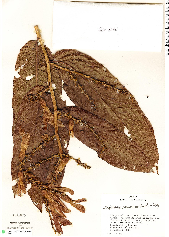 Specimen: Triplaris peruviana