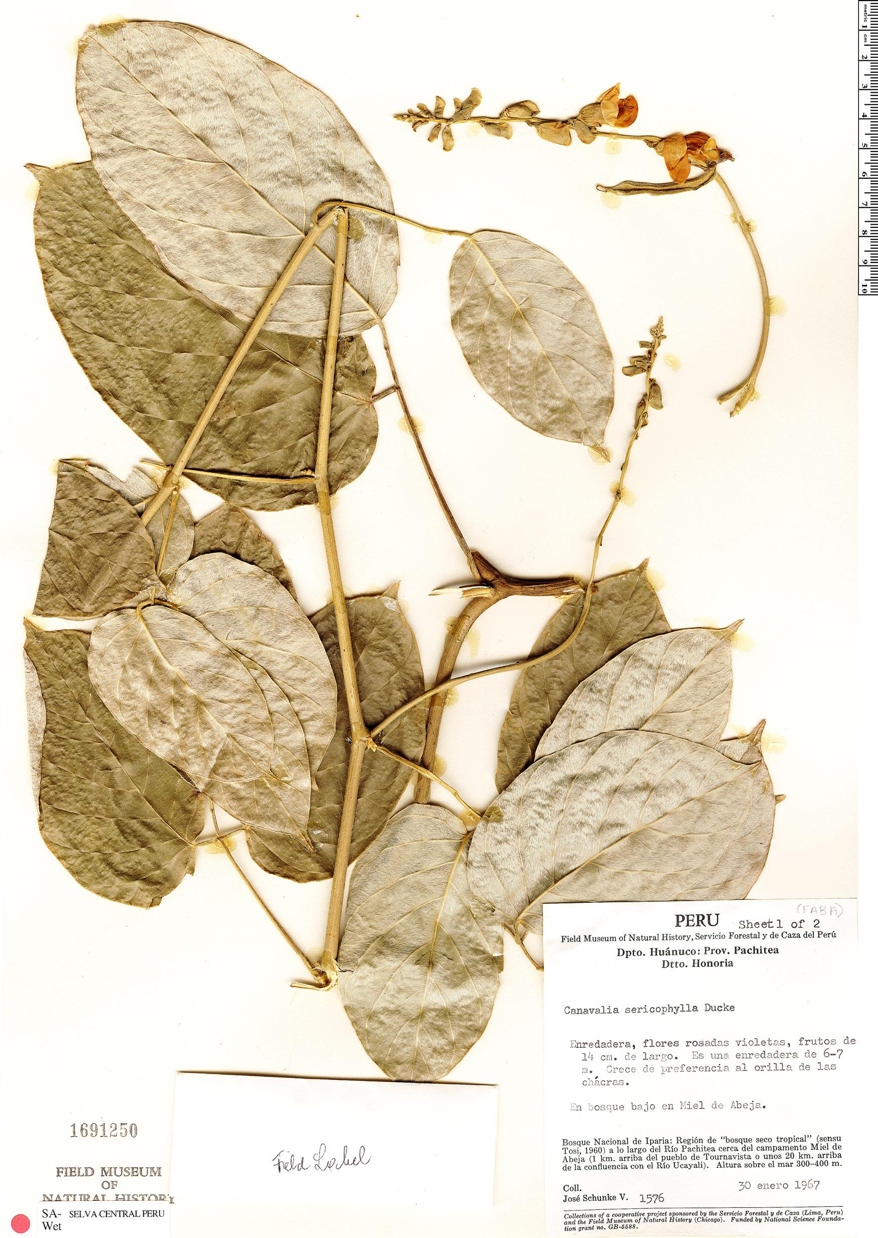 Specimen: Canavalia sericophylla