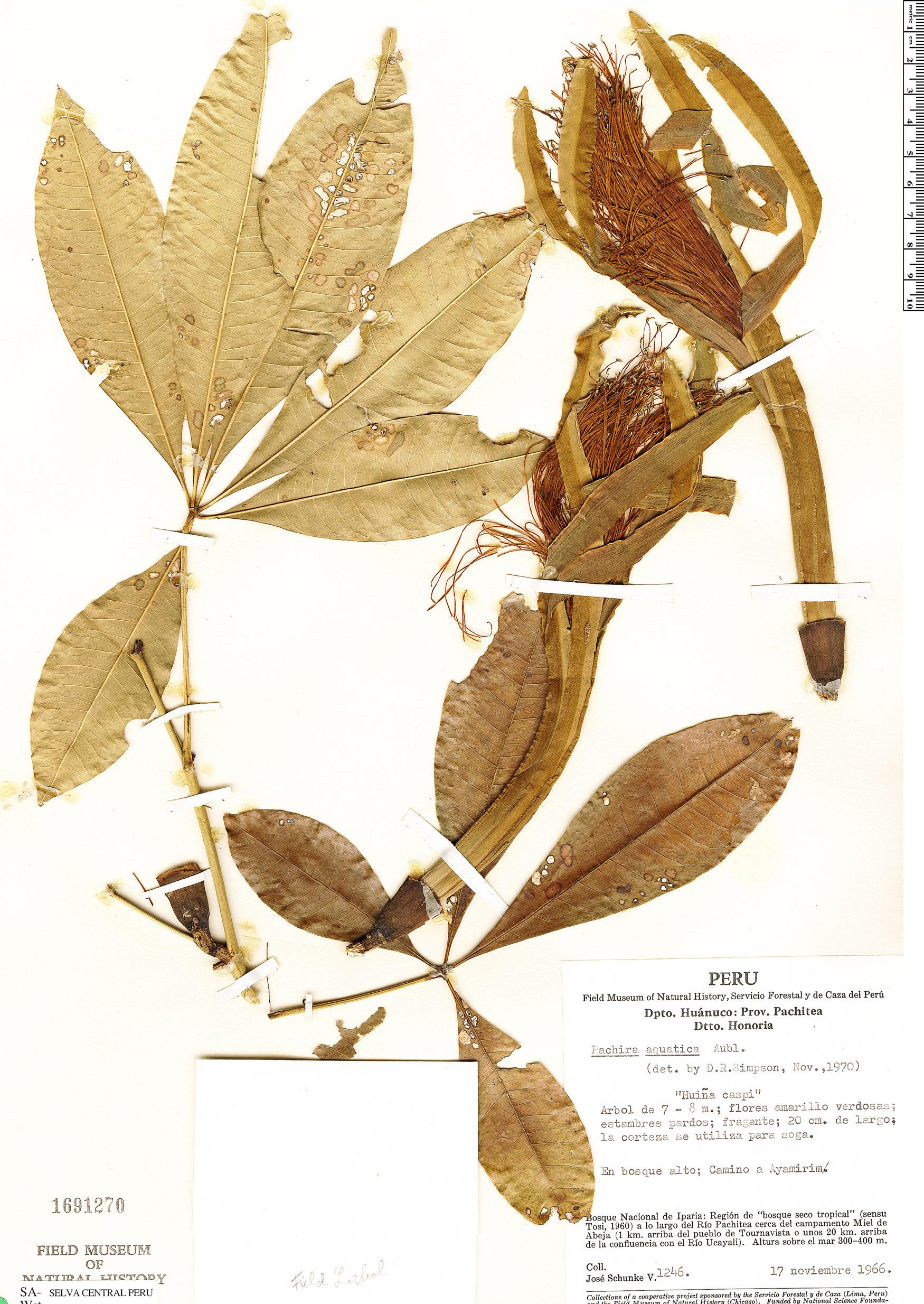 Specimen: Pachira punga-schunkei