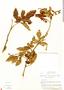 Paullinia fuscescens Kunth, Costa Rica, W. C. Burger 4849, F