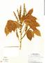Paullinia fibrigera, Panama, T. B. Croat 6731, F