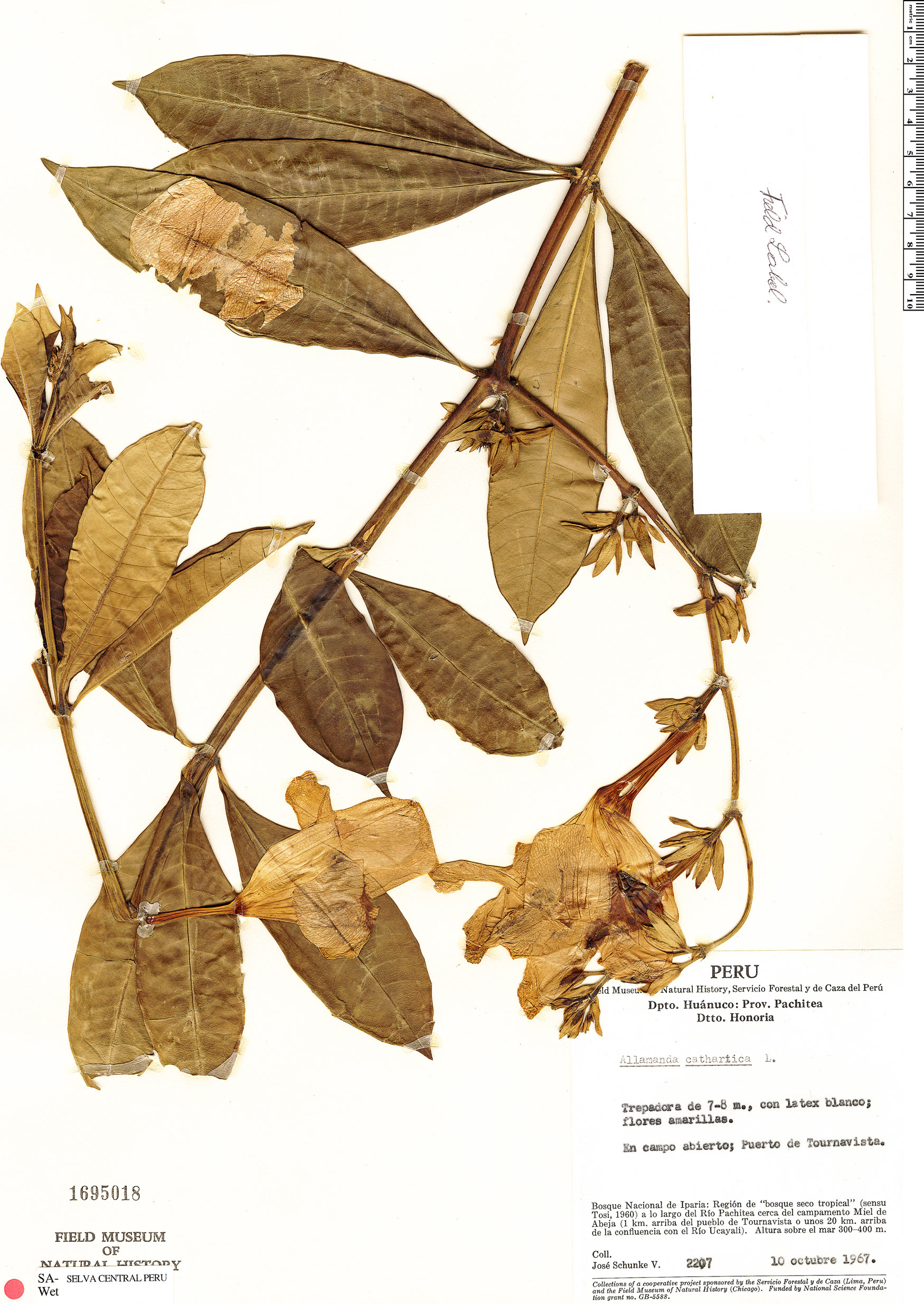 Specimen: Allamanda cathartica