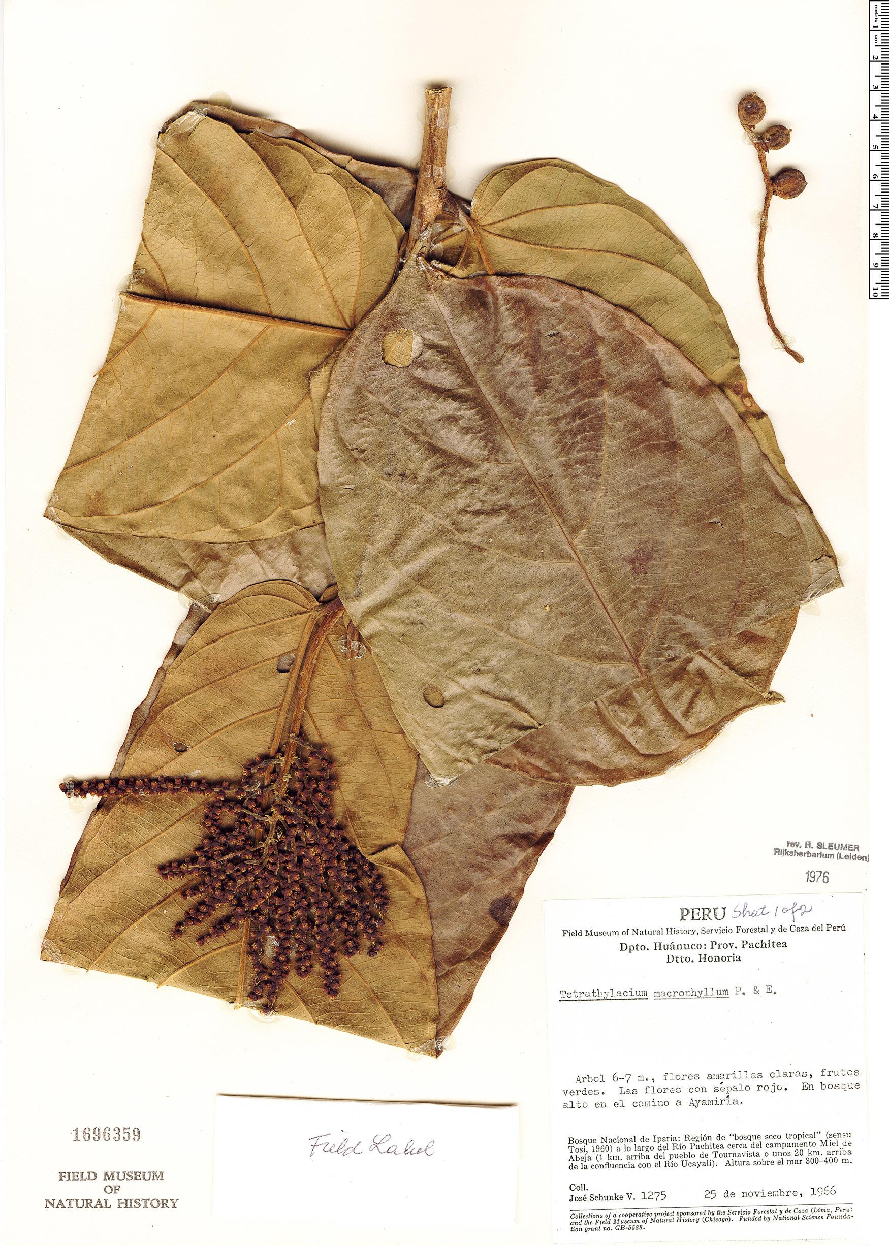Specimen: Tetrathylacium macrophyllum
