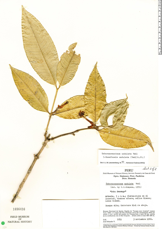 Espécime: Tabernaemontana undulata
