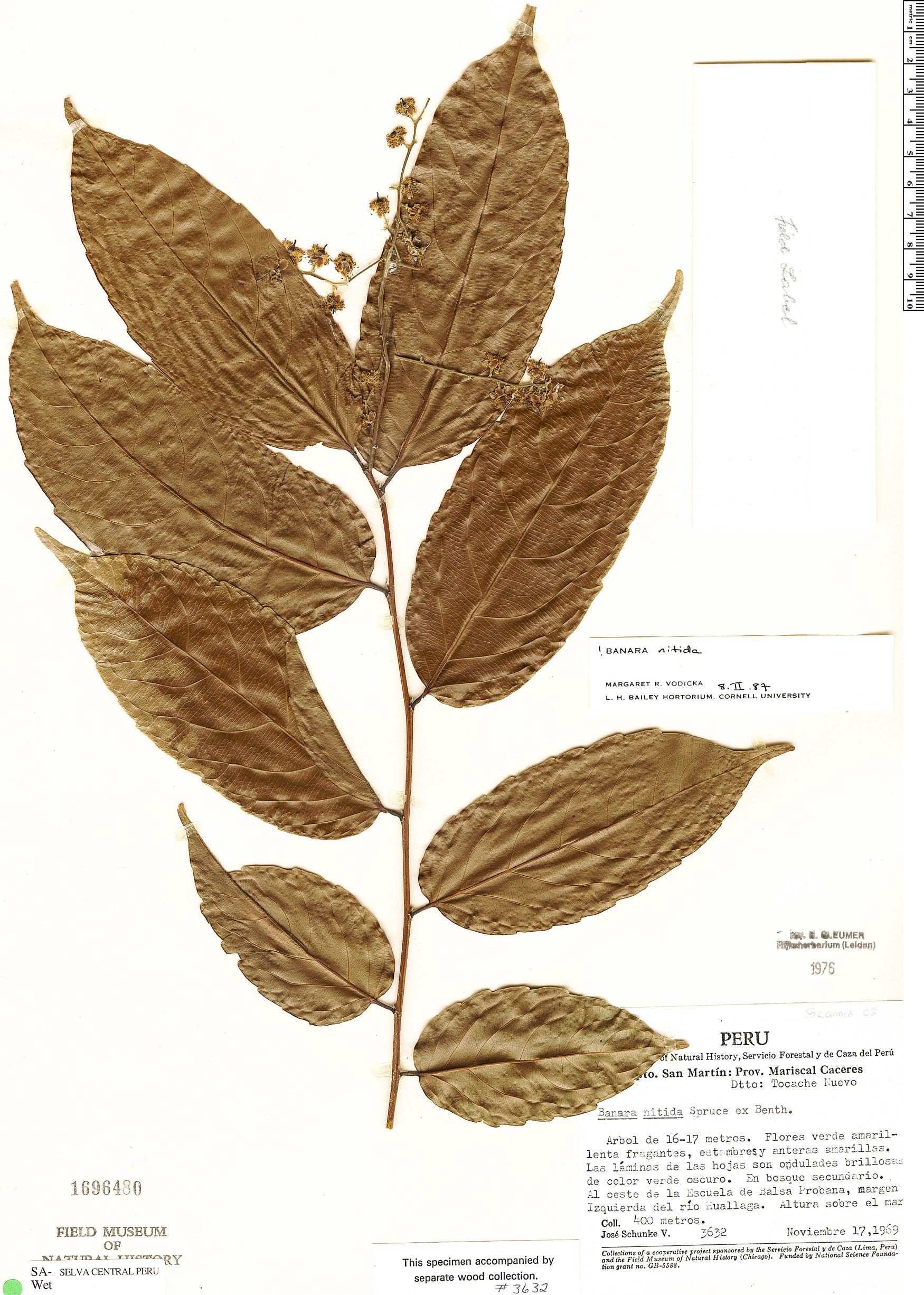 Espécimen: Banara nitida