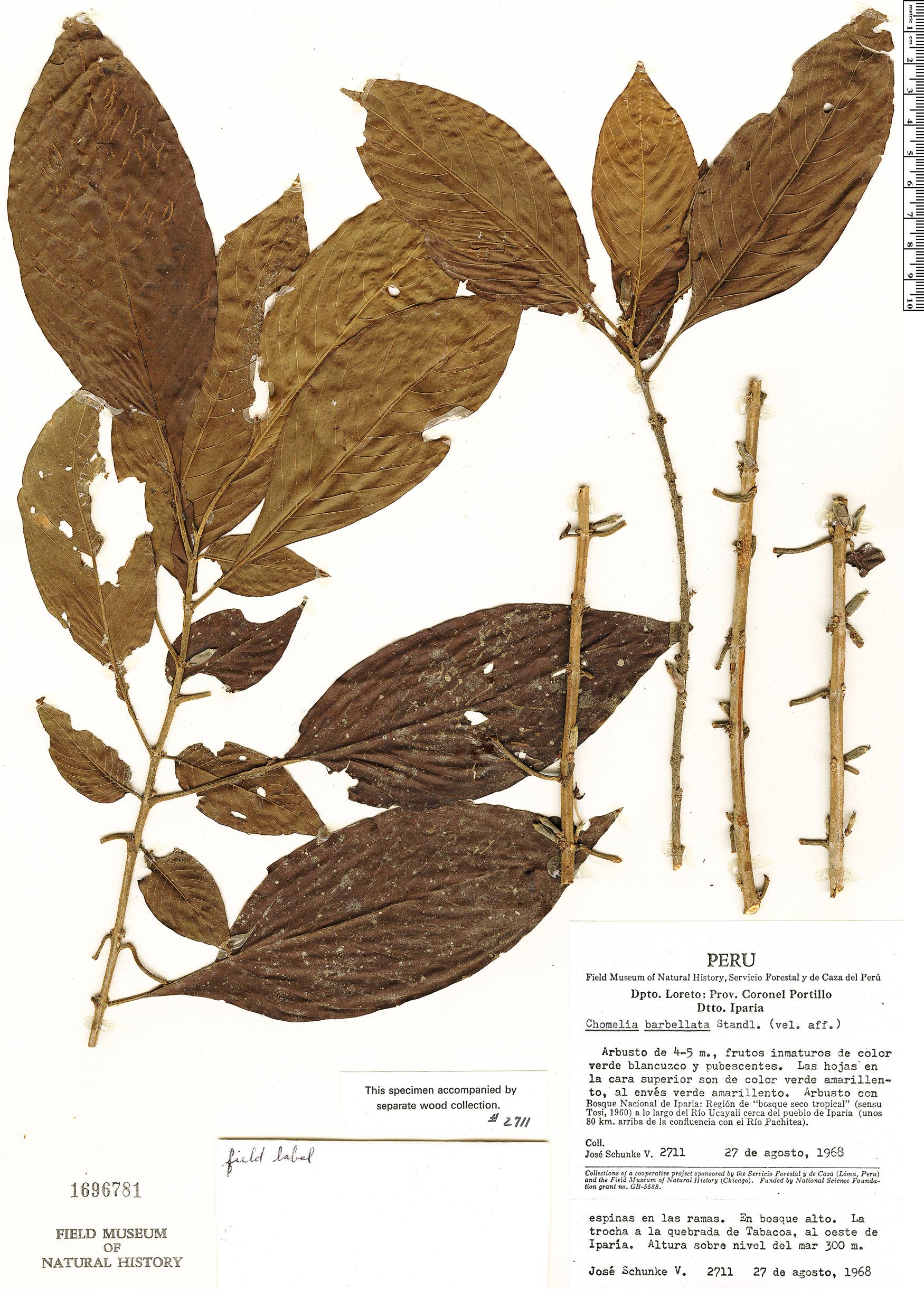 Specimen: Chomelia tenuiflora