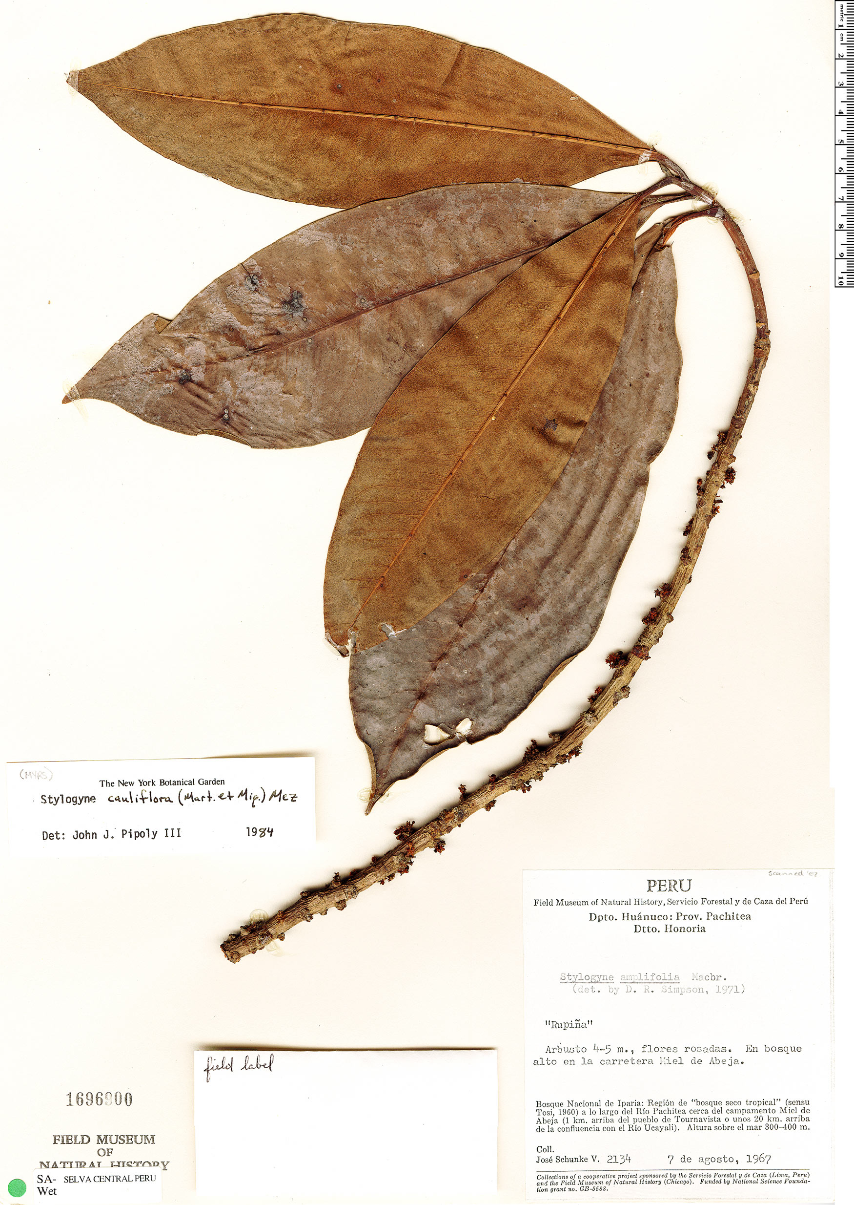 Espécime: Stylogyne cauliflora