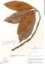 Stylogyne cauliflora (Mart. & Miq.) Mez, Peru, J. Schunke Vigo 2134, F
