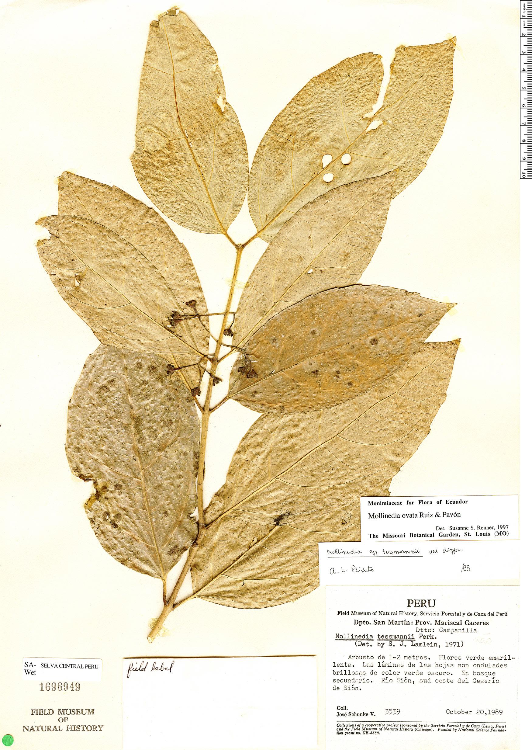 Specimen: Mollinedia ovata