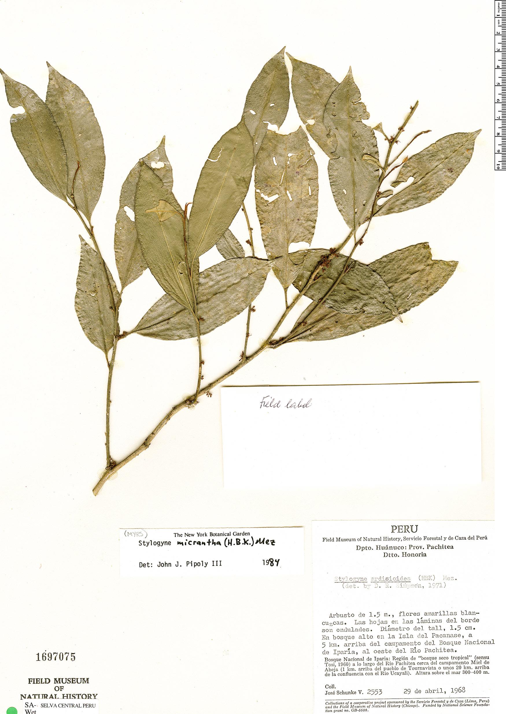 Espécimen: Stylogyne micrantha