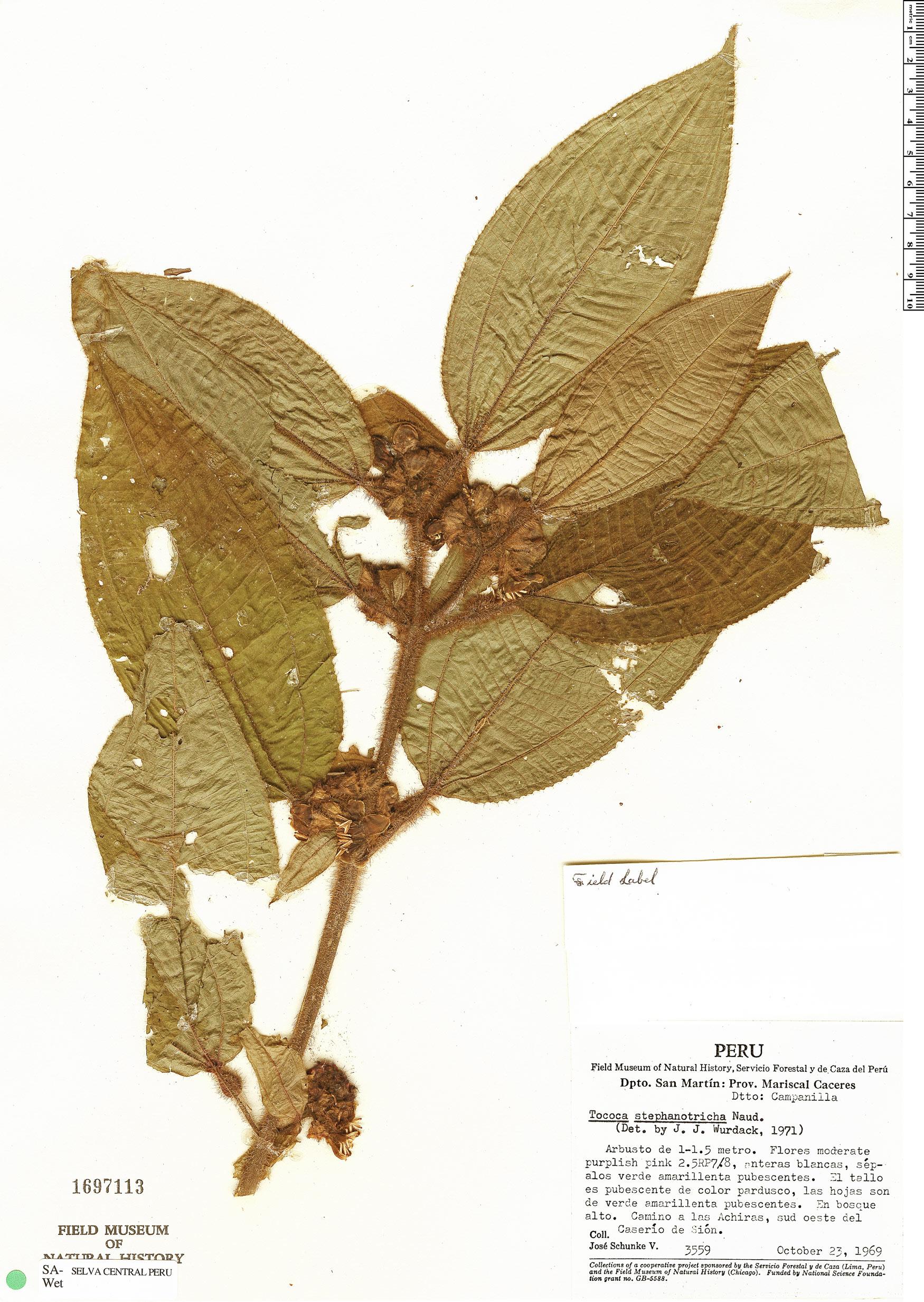 Specimen: Tococa stephanotricha