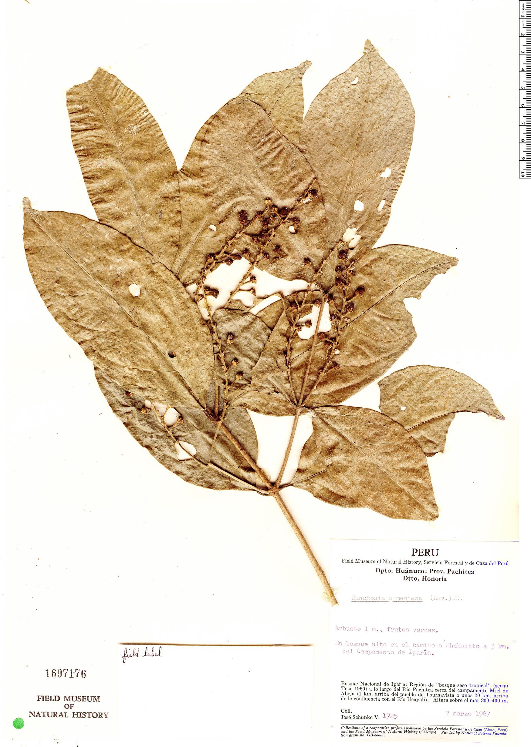 Specimen: Bunchosia armeniaca