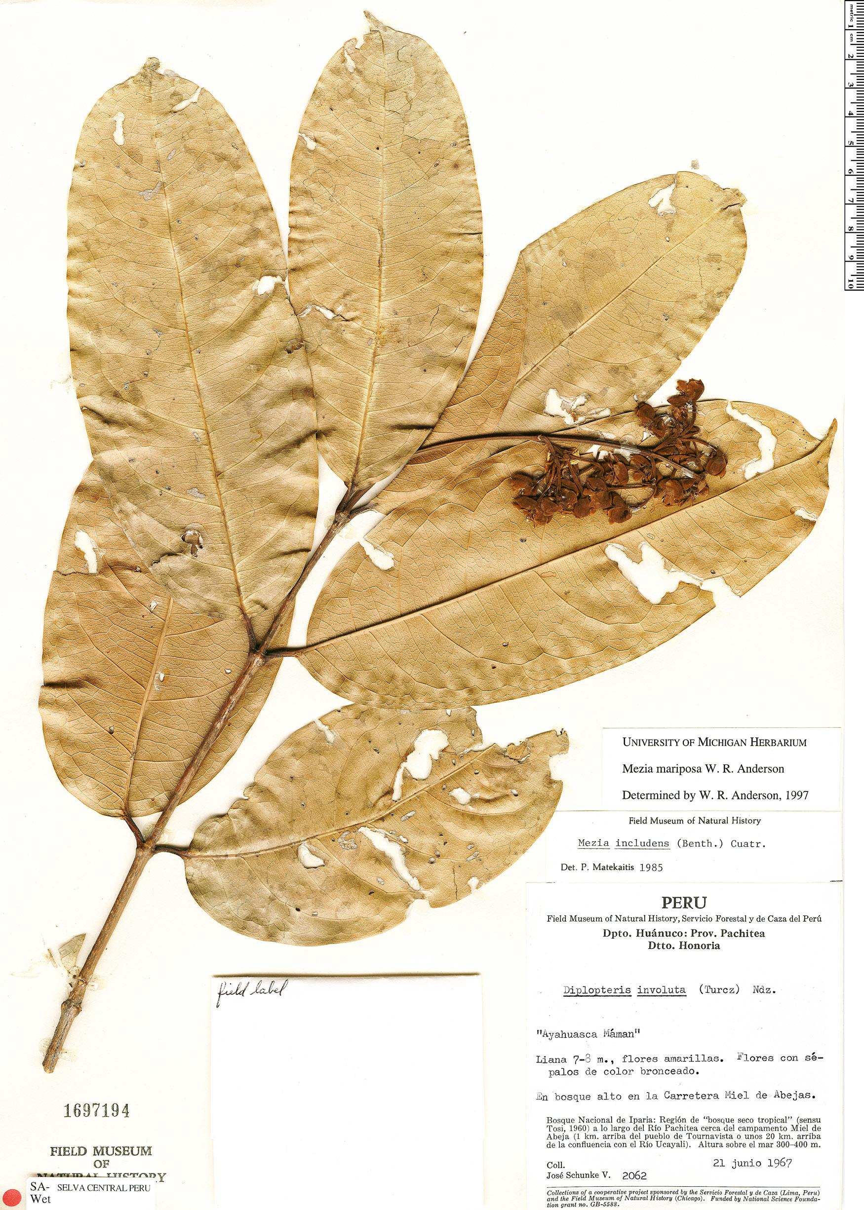 Specimen: Mezia mariposa