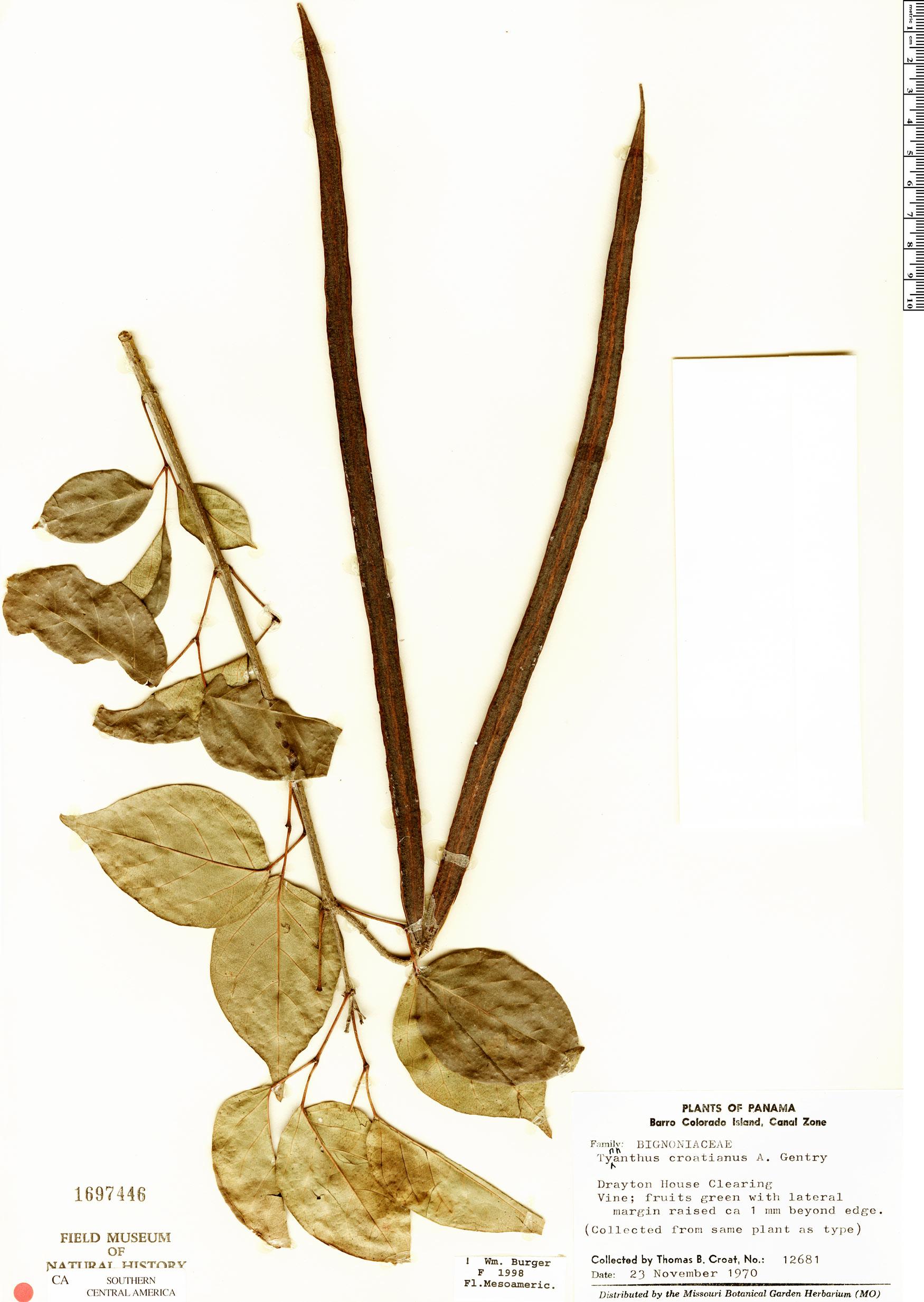 Specimen: Tynanthus croatianus