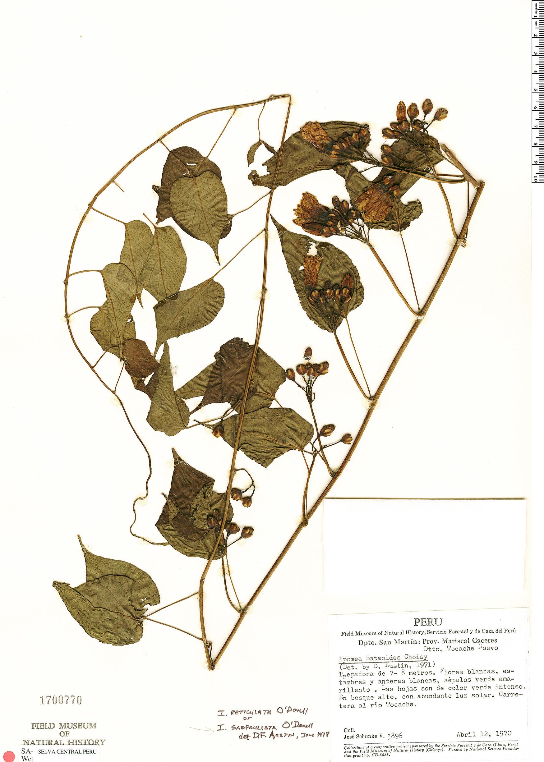 Specimen: Ipomoea reticulata